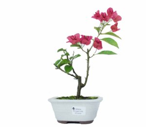Bonsai de Primavera Boungavillea 3 anos (26 cm)