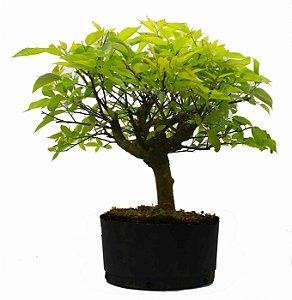 Pré Bonsai de Celtis Sinensis - 8 anos - 48 cm