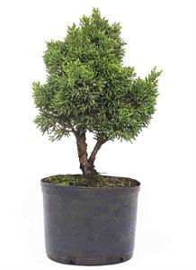 Pré Bonsai de Junípero Shimpaku 2 Anos (30 cm)