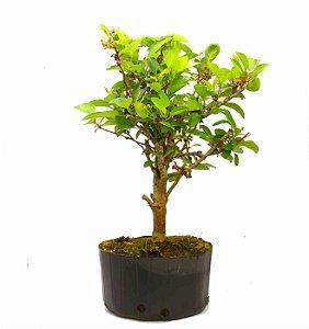 Pré Bonsai de Macieira Anã (Malus Everest) 7 anos - 47 cm - Frutificando