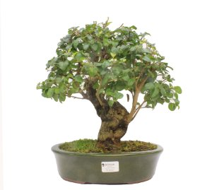 Bonsai de Ligustrinho 15 anos (35 cm)
