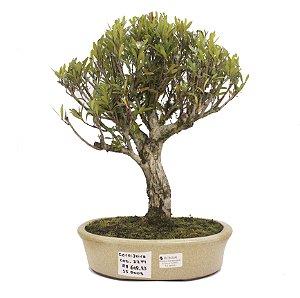 Bonsai de Cerejeira Silvestre 15 anos - 38 cm - Frutificando