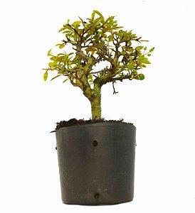 Pré Bonsai de Cotoneaster Apiculata 2 anos ( 27 cm )
