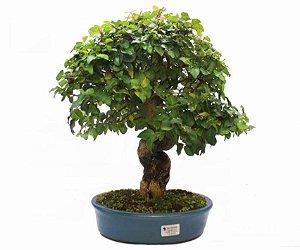 Bonsai de Ligustrinho 15 anos (36 cm)