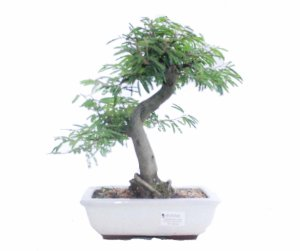 Bonsai de Calliandra Rosa 7 Anos ( 28 cm )