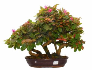 Bosque de Bonsai de Loropetalum Rubrum 21 anos (43 cm)