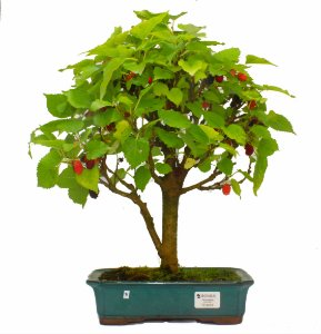 Bonsai de Amoreira 12 anos (40 cm) Frutificando