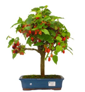 Bonsai de Amoreira 12 anos (43 cm) Frutificando