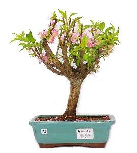 Bonsai de Sakura Anã 6 anos (29 cm) Florescendo