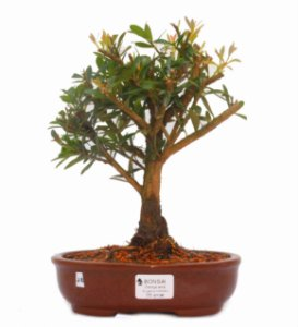 Bonsai de Cereja Anã (silvestre) 5 anos (26 cm )