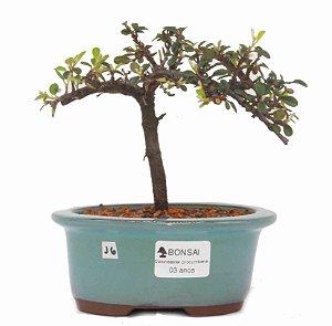 Bonsai de Cotoneaster Apiculata - 3 anos ( 19 cm )