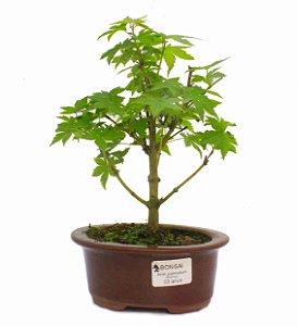 Bonsai de Acer Palmatum 3 Anos ( 25cm)