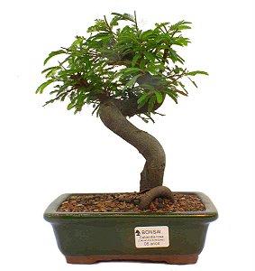 Bonsai de Calliandra Rosa 6 Anos ( 26 cm )