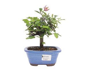 Bonsai de Grewia Occidentalis (Flor de Lótus) 3 anos (23 cm)