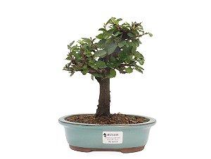Bonsai de Grewia Occidentalis (Flor de Lótus) 5 anos (24 cm)