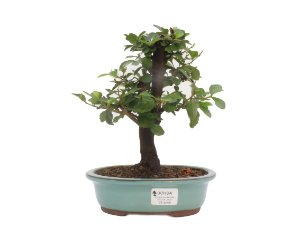Bonsai de Grewia Occidentalis (Flor de Lótus) 5 anos (25 cm)