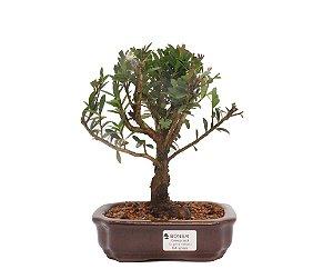 Bonsai de Cereja Anã (silvestre) 4 anos (23 cm )