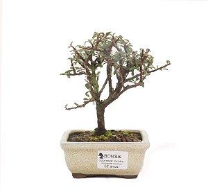 Bonsai de Cotoneaster Apiculata - 2 anos ( 18 cm )
