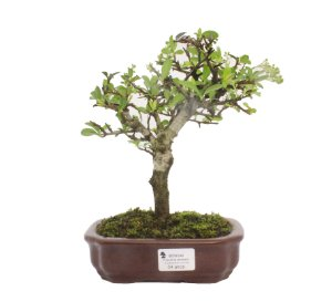 Bonsai de Piracanta Amarela - 4 anos ( 24 cm)