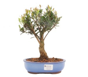 Bonsai de Cereja Anã (silvestre) 5 anos (28 cm )