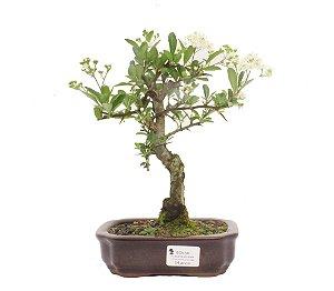Bonsai de Piracanta Amarela - 4 anos ( 25 cm)