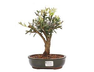 Bonsai de Cereja Anã (silvestre) 5 anos (27 cm )