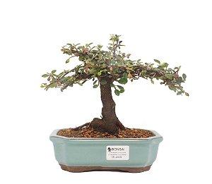 Bonsai de Cotoneaster Apiculata - 5 anos ( 18 cm )