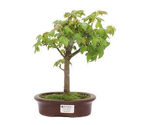 Bonsai de Acer Kaede 4 Anos ( 30cm)