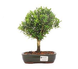 Bonsai de Buxus Harlandi - 4 anos (24 cm)