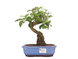 Bonsai de Ligustrinho 6 anos (26cm)