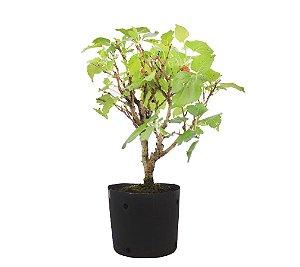 Pré Bonsai (muda) de Amoreira 2 anos (34 cm) Frutificando