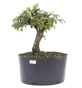 Pré Bonsai de Cotoneaster Apiculata 4 anos ( 30 cm )