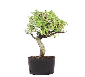 Pré Bonsai de Ulmus Parvifolia Com Movimento 5 anos (40 cm)