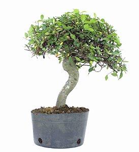 Pré Bonsai de Ulmus Parvifolia 5 anos (40 cm)