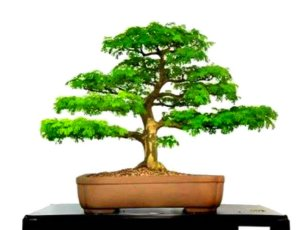 Sementes De Pithecolobium Tortun Para Bonsai Abc Do Bonsai