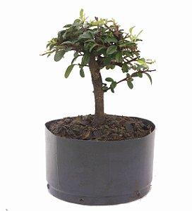 Pré Bonsai de Cotoneaster Apiculata 2 anos ( 26 cm )