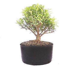 Pré Bonsai de Cereja Silvestre 3 anos ( 33 cm) Frutificando