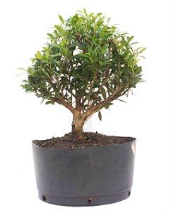 Pré Bonsai de Cereja Silvestre 3 anos ( 34 cm) Frutificando