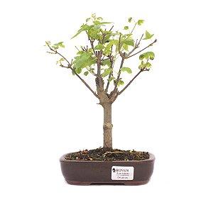 Bonsai de Acer Kaede 4 Anos ( 25cm)