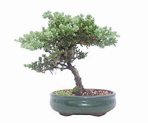 Bonsai de Junípero Procumbens 4 anos (24 cm)