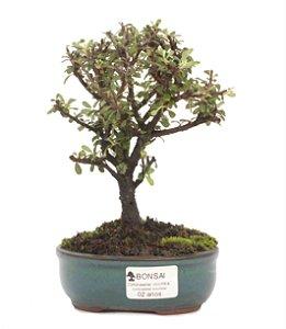 Bonsai de Cotoneaster Apiculata - 2 anos ( 20 cm )
