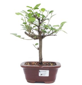 Bonsai de Grewia Occidentalis (Flor de Lótus) 3 anos (20 cm)