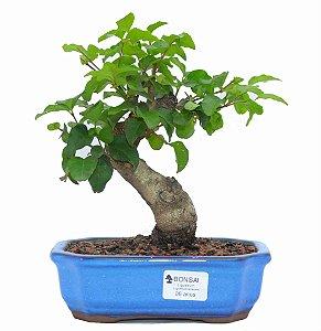 Bonsai de Ligustrinho 6 anos (26 cm)