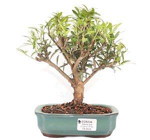 Bonsai de Cereja Anã (silvestre) 4 anos (20 cm )