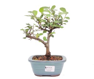 Bonsai de Grewia Occidentalis (Flor de Lótus) 3 anos (24 cm)