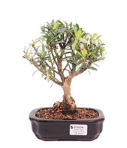 Bonsai de Cereja Anã (silvestre) 4 anos (24 cm )