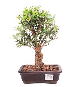Bonsai de Cereja Anã (silvestre) 6 anos (30 cm )