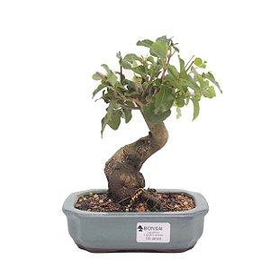 Bonsai de Ligustrinho 5 anos (22 cm)