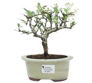 Bonsai de Piracanta Amarela - 3 anos ( 20 cm)