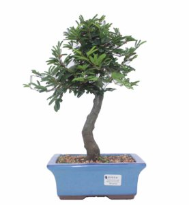 Bonsai de Calliandra Rosa  08 Anos ( 37 cm )